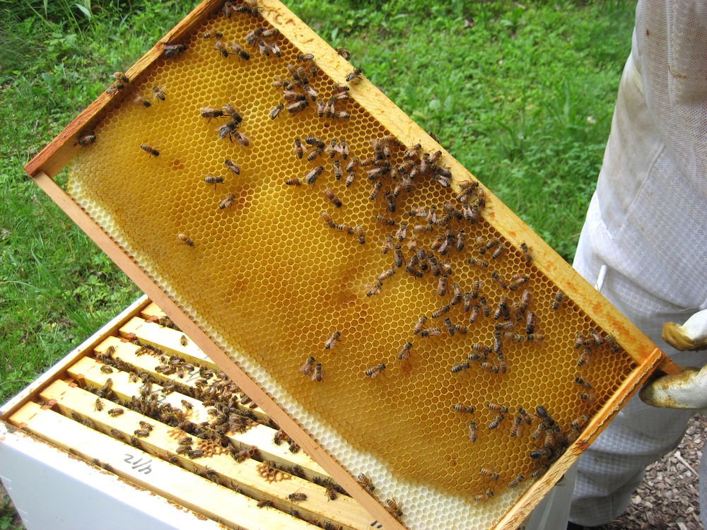 Here is a hive frame, you can see the white plastic foundation that the hives start with and the golden wax that the bees build up from the foundation to form the hexagonal cells.