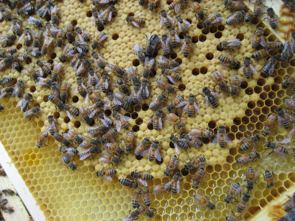 Brood Frame: The golden fuzzy layer covers bee brood. The term