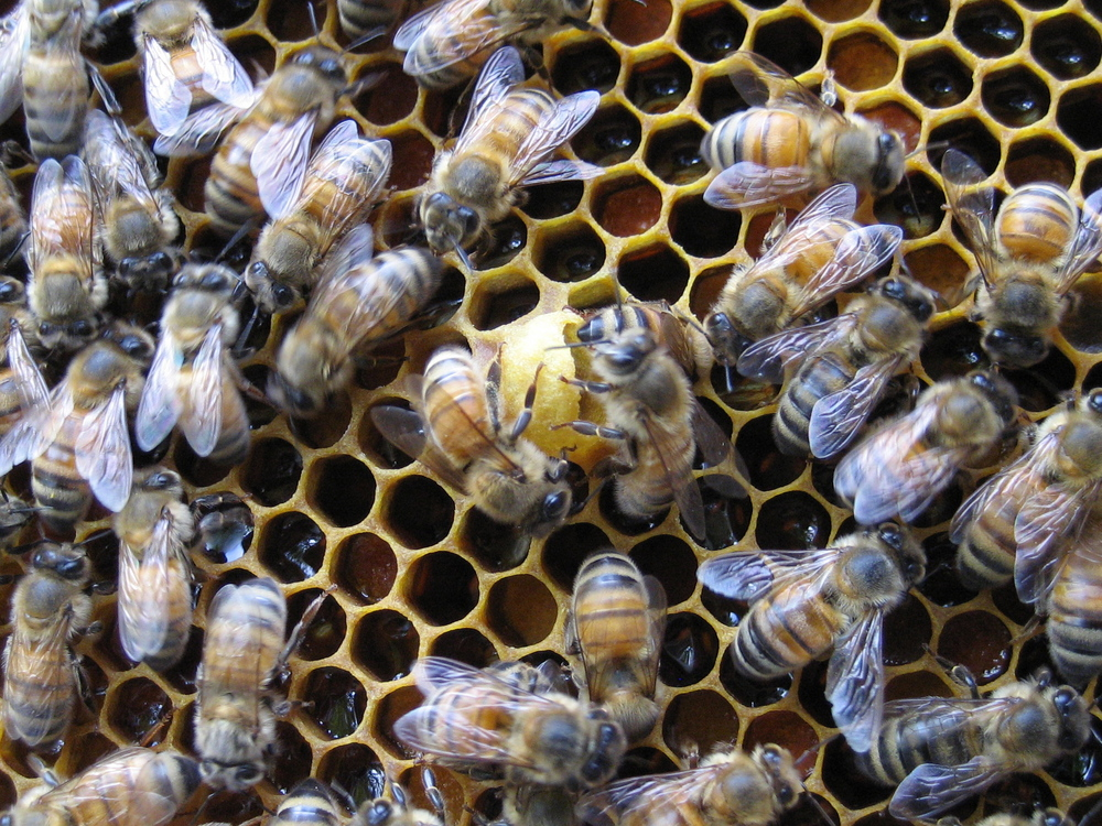 This is a potential new queen cell where a new queen bee could be grown.  The darker cells are filled with nectar.  The bees in this photo are worker bees who are all female.  They work non-stop for the greater good of the hive.  They perform various duties such as caring for the brood, building the hive, receiving and processing nectar and foraging for nectar, pollen and water.