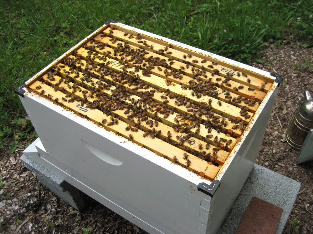 With the top off the hive you can see the frames and the bees.