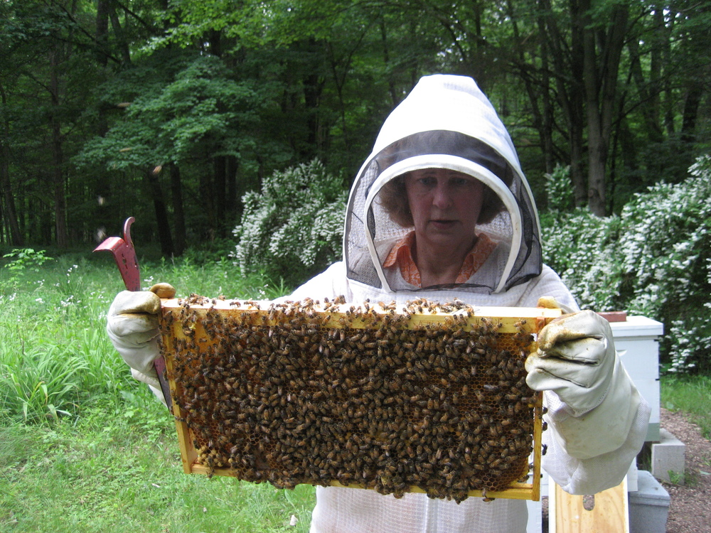 Laura is searching for the queen bee.  She has seen new queen cells in this hive.  If new queen bees are born there will be more than one queen bee in the hive.  When there is more than one queen, the bees will split and