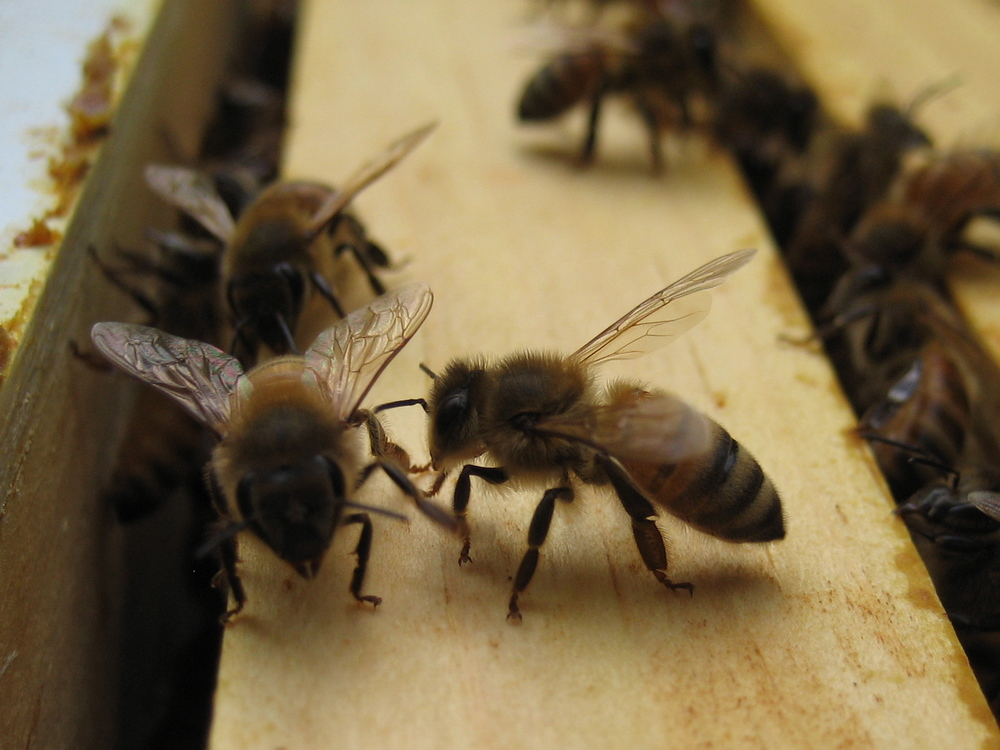 Here is a closeup of some busy worker bees.  Notice how fuzzy they are.  The hairs help them collect and distribute pollen.   While they are deep in a flower gathering nectar, pollen sticks to the hairs.  When they go from flower to flower and plant to plant they leave behind some of the pollen from the other flowers - this is pollination!